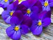 beautiful wild violets