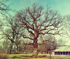 Old oak tree, park in vicinity of Cesis, Latvia
