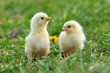 Leinwanddruck Bild - Two young chickens