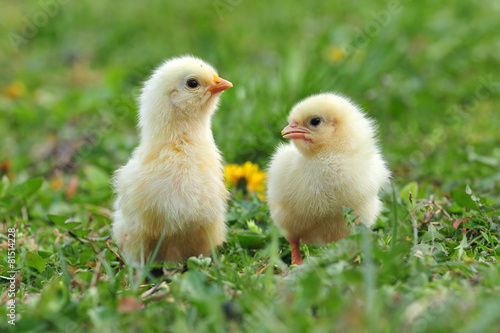 Foto op Canvas Kip Two young chickens