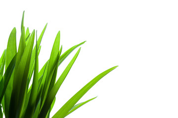 Grass on White Background