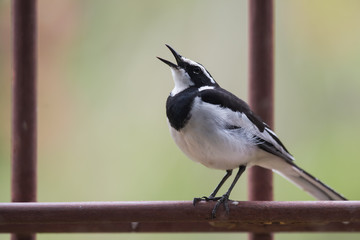 African pied wagtail (Motacilla aguimp) singing from a metal per