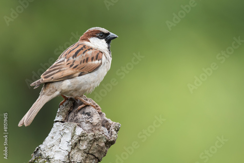 House Sparrow (Passer domesticus) perched on a knot of wood