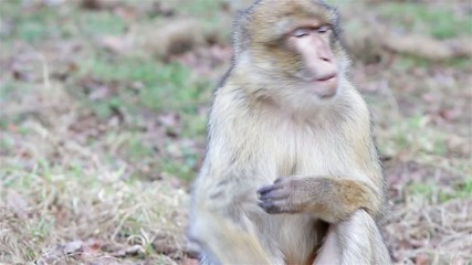 Beautiful Monkey Close Up - Barbary Macaques