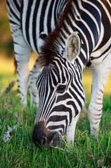 Plains Zebra Grazing on Green Grass