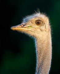 Portrait of a Young Ostrich Bird
