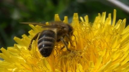 Biene mit Löwenzahn