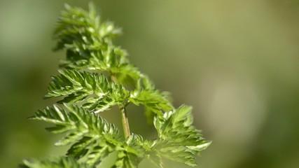 Wiesenkerbel, Wildkraut für grüne Suppe