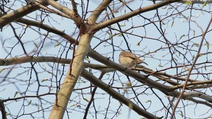 Beautiful Sound Red Robin Song Bird Singing Close Up