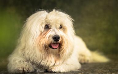 Coton de Tulear dog portrait