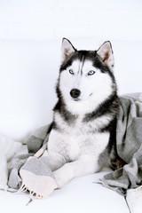 Beautiful cute husky lying on sofa with plaid in white room