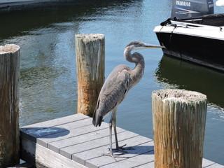Blue herron on the dock.