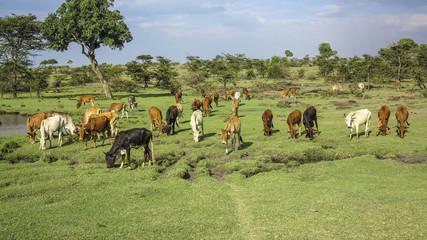cows in Masai Mara National Park.