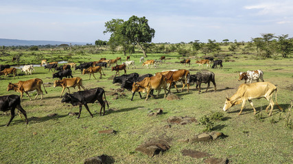 grazing cows in Masai Mara national park