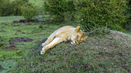 lion family relaxes in Masai Mara National Park.