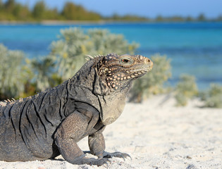 Iguana on white sand beach in Cayo Largo, Cuba