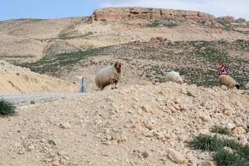Sheep on a Middle Eastern hill