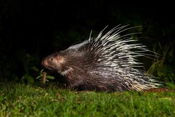 Nocturnal animals Malayan porcupine(Hystrix brachyura)