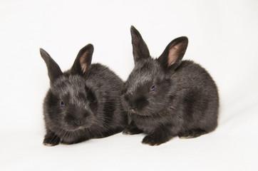 Conigli gemelli