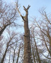 Polypore fungus on dry tree
