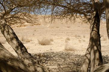 Tree in Negev Desert
