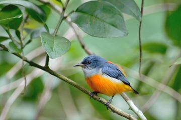 Colorful bird (Orange-bellied Flowerpecker)