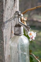 Old soda siphon with flower