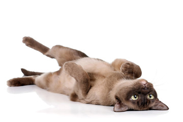 Funny playful cat lying on his back on a white background