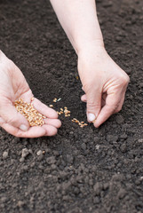 Sowing wheat hands in the earth.