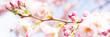 panorama mit kirschbaumblüten