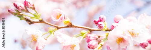 Obraz panorama mit kirschbaumblüten