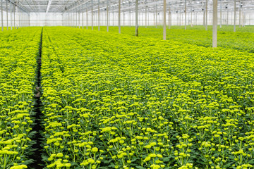 Pale green budding chrysanthemum plants in a nursery