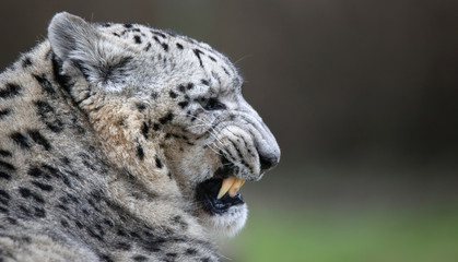 Close-up of a spitting Snow leopard with copy paste