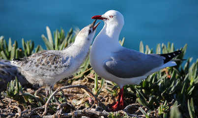 Close-up view of a Red-billed gull feeding chick
