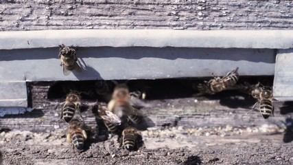Bees at the inlet to the hive