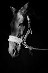 Artistic photo of horse head in harness