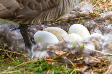 Canada Goose eggs in a nest with the mother