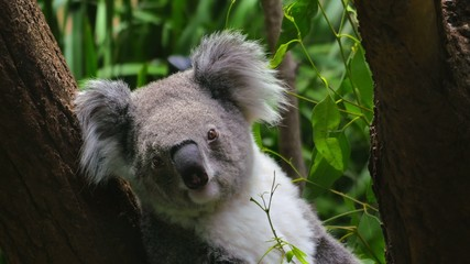 Koala sitting in a tree, close-up