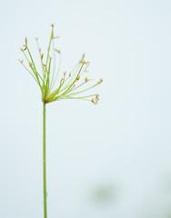 Egyptian papyrus sedge plant on white background.