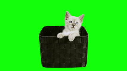 Kitten In Box Green Screen