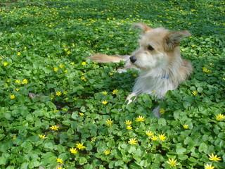Young beige dog lying among yellow wild flowers