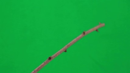 thrush (Turdus pilaris) on green screen
