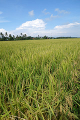 The ripe paddy field is ready for harvest