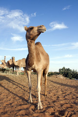 Camel farm in Dubai Desert, UAE