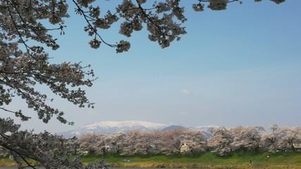 大河原一目千本桜と蔵王連峰