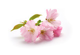 New Cherry Blossom isolated on a white background. - 81549650