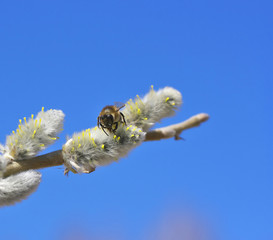 Bee on willow.