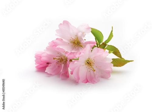 Aluminium Kersen New Cherry Blossom isolated on a white background.
