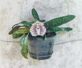 Paphiopedilum bellatulum  - lady slipper flower