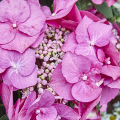 Hortensia flowers closeup, natural background